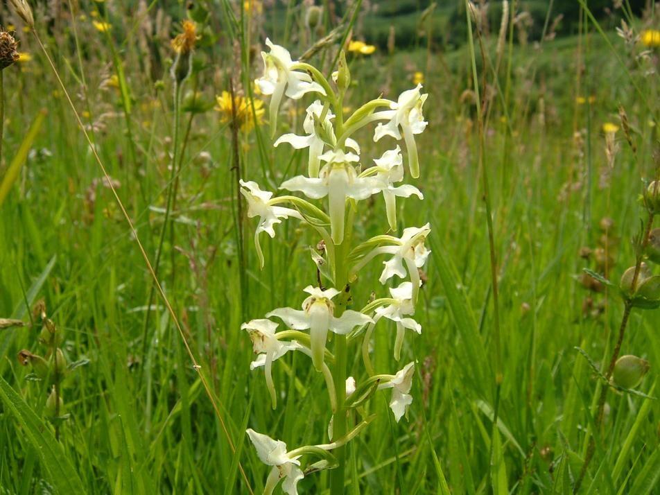 manip_Greater-butterfly-orchid-Berthlwydd-farm-brecon-020709-SM