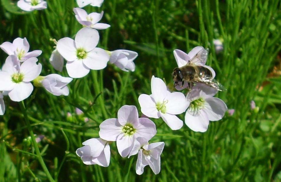 manip_cuckoo-flower-and-bee