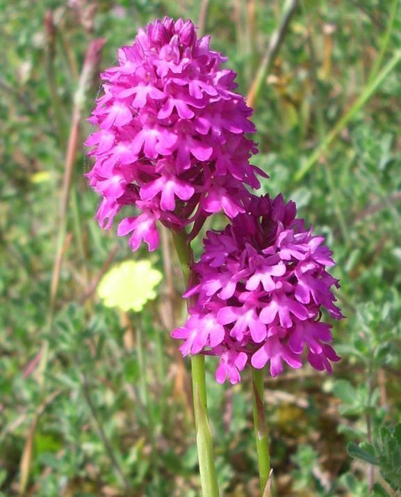 manip_pyramidal-orchid